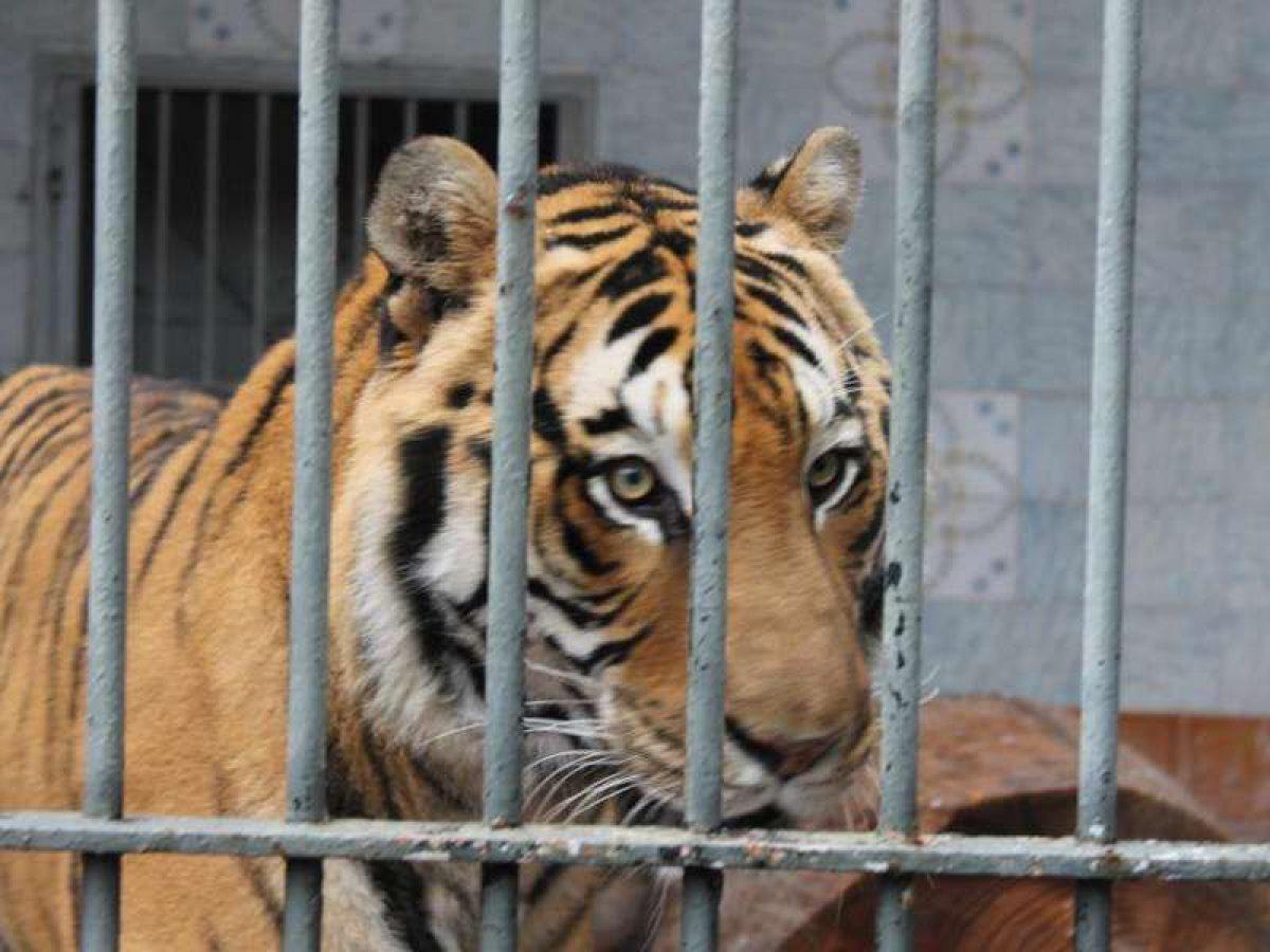 Tigre in trappola
